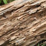 Termites, insectes xylophages, mérules et champignons lignivores