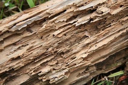 diagnostic-merule-et-termites-diagnostiqueur-immobilier-bois